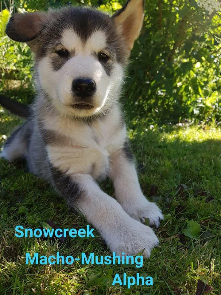 Snowcreek Macho-Musher Alpha